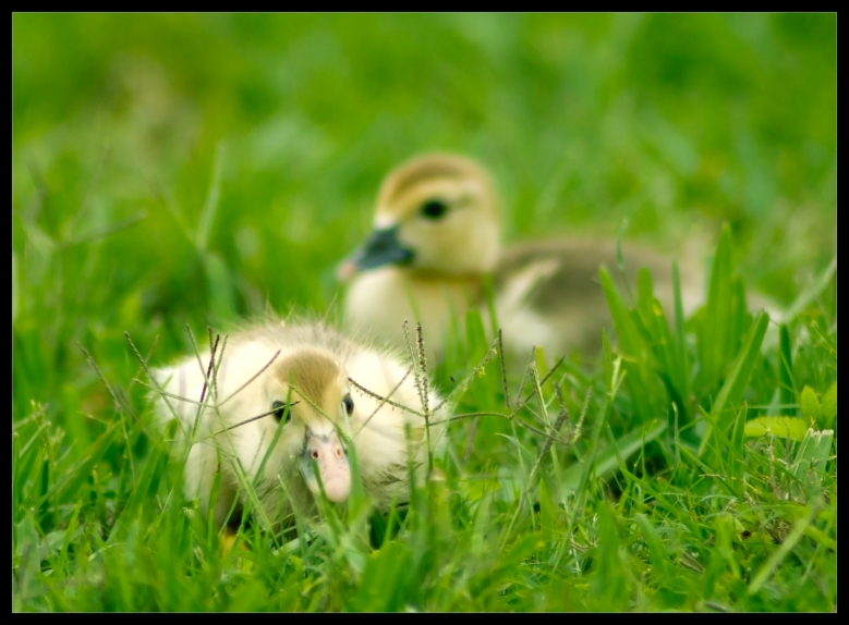 """Duck & Cover!"" by Robert Santafede"