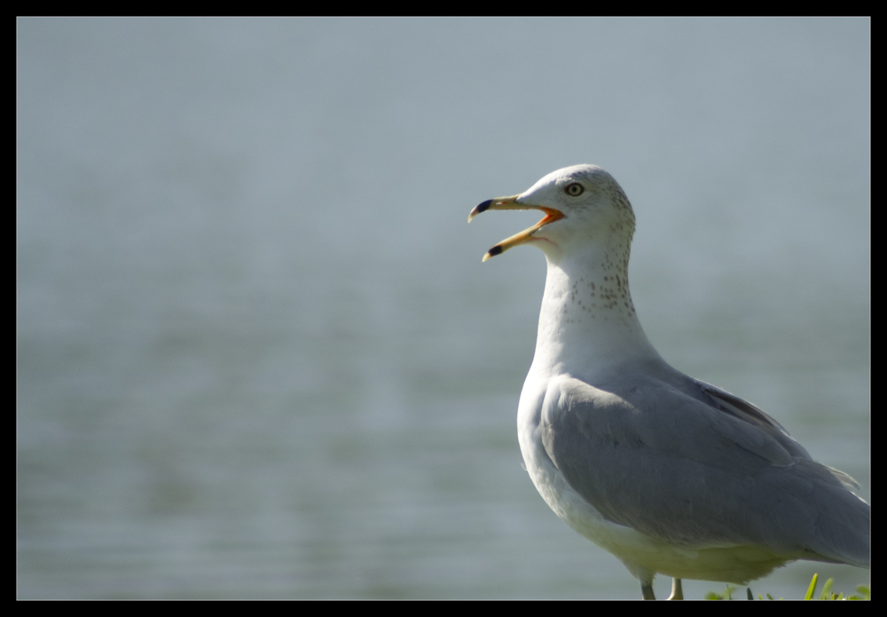 Shocked Seagull Is Shocked, photographed by Robert Santafede